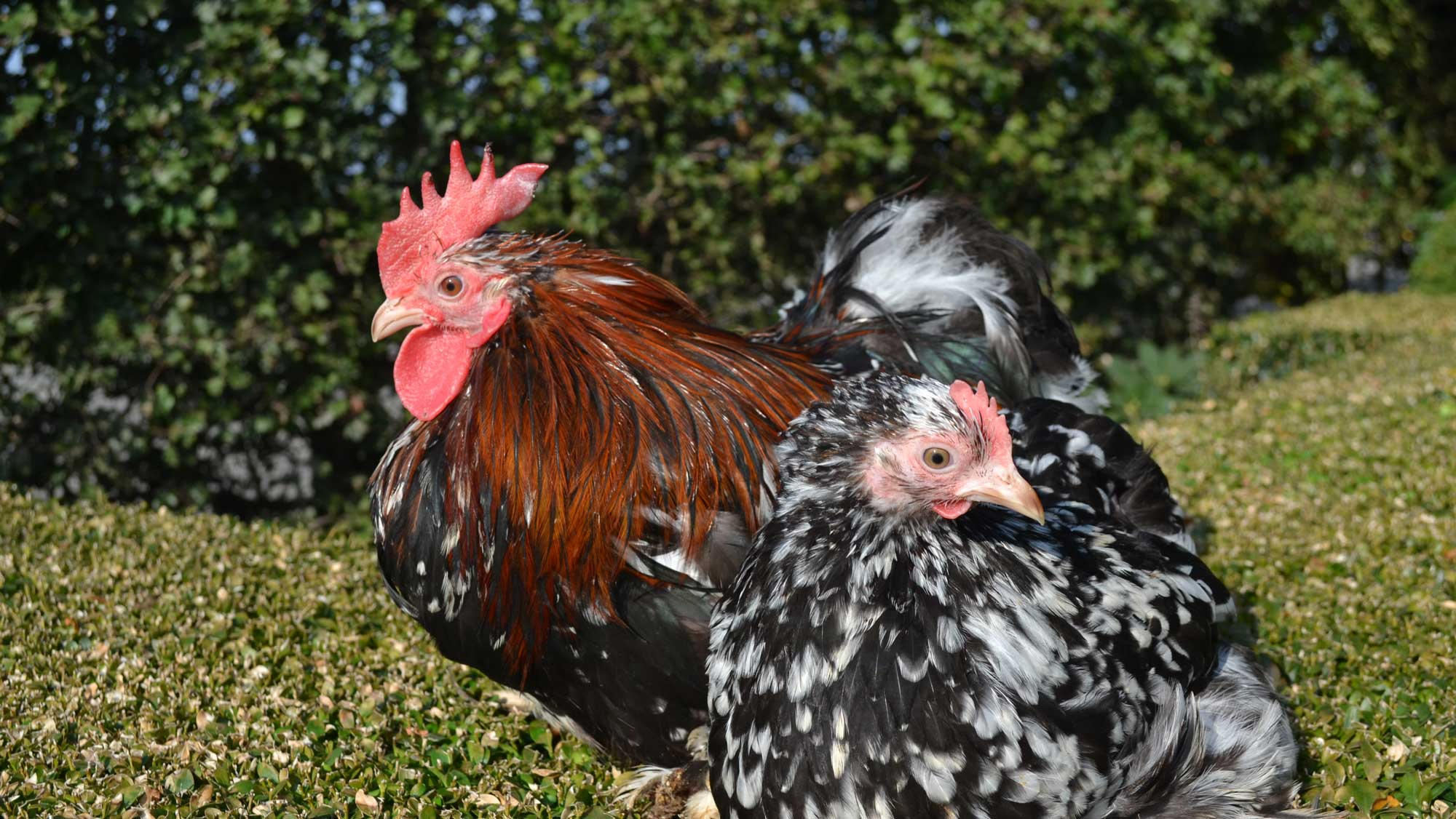 Uitbroeden van de eieren tot jong volwassen kippen